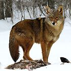 Coyote by Tracy Engle