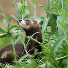 European polecat (Mustela putorius) by ChrisMillsPhoto