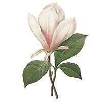 Vintage botanical art, elegant  magnolia flower. Photographic Print