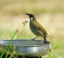 White-eared Honeyeater. Cedar Creek, Queensland, Australia. by Ralph de Zilva