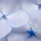 Hydrangea Impressions by Dianne English