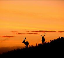 Stags at sunrise by shootingnelly