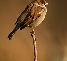 house sparrow by Jon Lees