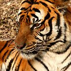 Tiger by Mikeb10462