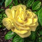 One Yellow Rose by njordphoto