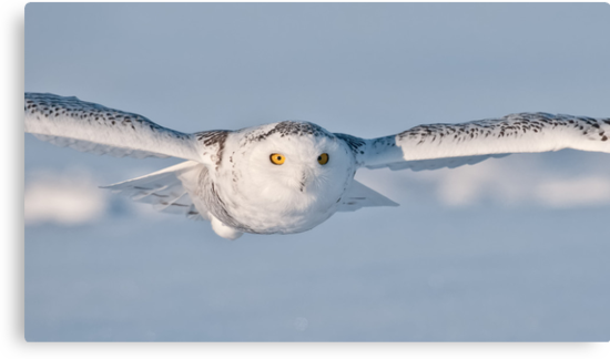 Snowy Owl by Michael Cummings
