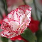 Carnation  by LynnEngland
