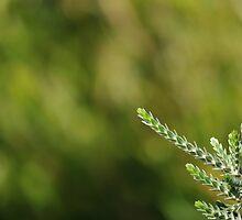 Regelia velutina foliage by metriognome