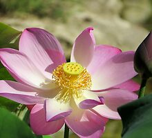 a lotus plant in bloom by kaye terrelonge