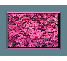 Azalea in Full Bloom  Photographic Print