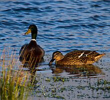 Two little ducks by Violaman