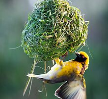 South African Weaver by DonnaLB