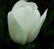 White tulips by Ana Belaj
