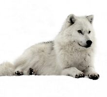 Stunning Arctic Wolf by vette