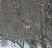 CARDINAL IN BLOWING SNOW by Brenda Planchon
