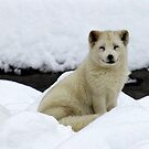 Arctic Fox by vette