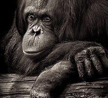Orangutan contemplating where evolution jumped the shark by alan shapiro