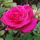 Pink Petals by aldemore