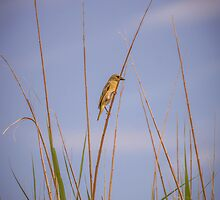 Yellow Finch by Mauds