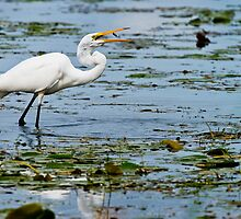 Great Egret by Heron-Images