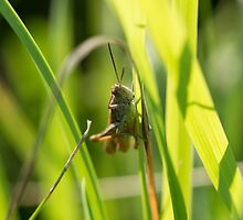 Confused Grasshopper by Robert Carr