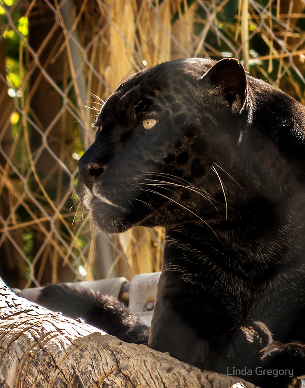 Black Leopard by Linda Gregory