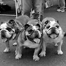 Three Bulldogs by Lee LaFontaine