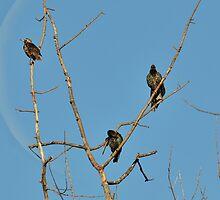 Common Starling- (Sturnus vulgaris)  by Matsumoto