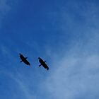 Forest Ravens (Corvus tasmanicus) in flight by Matthew Hockley