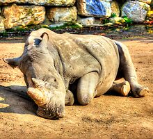 Sleeping Rhino - HDR by PatiDesigns