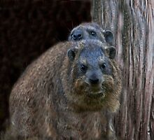 Rock Hyrax by phil decocco