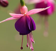 Fuchsia named Lambada by JMcCombie
