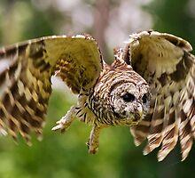 Barred Owl by Brad Lenear