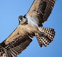 Angry Osprey by Jim Stiles