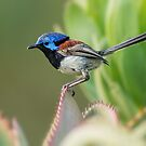 Variegated Fairy Wren by Heather Thorning