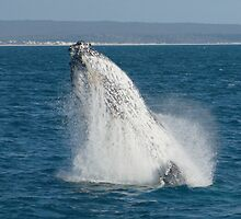 Humpback Whale Breaching 1 by Gotcha29