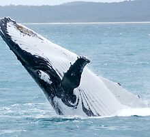 Humpback Whale Breaching single image by Gotcha29