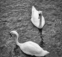 Swans by Dobromir Dobrinov