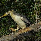 Sneaking into the cool bushes, Australian Darter by Kym Bradley