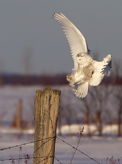 Snowy Owl on post by Jim Cumming