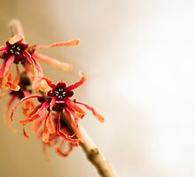 Japanese Witch Hazel by Anne Gilbert