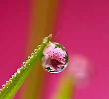 Pink Azalea Dew Drop Refraction by Dan Dexter