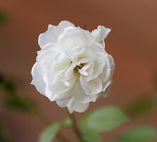 Miniature White Floribunda Rose Flower by Matthew Hockley