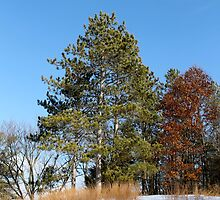 Pine Tree on the Hill top by jjastren