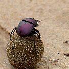 Milky Way Navigation - Dung Beetle - SA by AndreaEL