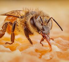Female Worker Honeybee by Dan Dexter
