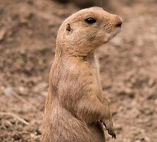 Prairie Dog #4 by JinzhaBloodrose