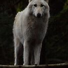 Pretty Girl Grey Wolf by Ian Phares