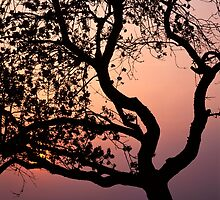Silhouette of an old apple tree at sunset by intensivelight
