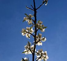 Twig of a flowering cherry tree and blue sky by intensivelight